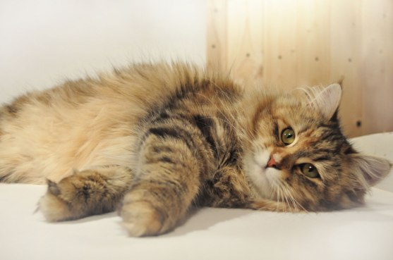 gatto siberiano-sibemollecattery